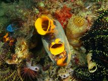Sea squirt. The amazing and mysterious underwater world of the Philippines, Luzon Island, Anilаo, sea squirt Stock Images