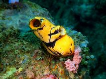 Sea squirt. The amazing and mysterious underwater world of the Philippines, Luzon Island, Anilаo, sea squirt royalty free stock image