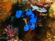 Sea squirt. The amazing and mysterious underwater world of the Philippines, Luzon Island, Anilаo, sea squirt royalty free stock photo