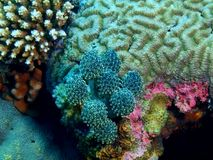 Sea squirt. The amazing and mysterious underwater world of the Philippines, Luzon Island, Anilаo, sea squirt stock photos