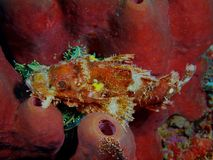 Scorpionfish Royalty Free Stock Photography