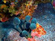 Sea squirt. The amazing and mysterious underwater world of the Philippines, Luzon Island, sea squirt Royalty Free Stock Photos