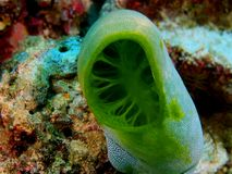 Sea squirt. The amazing and mysterious underwater world of the Philippines, Luzon Island, sea squirt stock photos