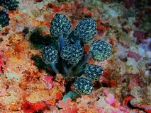 Sea squirt Stock Photos