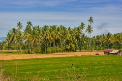 Amazing natural scenery with rice fields, mountains and blue skies. In Sigi district, central Sulawesi, Indonesia royalty free stock images