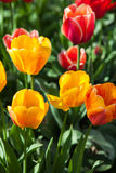 Amazing nature of tulips under sunlight at the middle of summer. Or spring day landscape. Natural view of flower blooming in the garden with green grass as a Stock Images