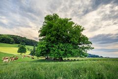 Amazing old linden tree under spectacular sky in linn aargau hdr stock image