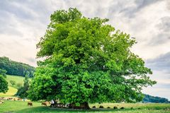 Amazing old linden tree under spectacular sky in linn aargau hdr. Switzerland royalty free stock photo