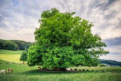 Amazing old linden tree under spectacular sky in linn aargau hdr. Switzerland royalty free stock photos