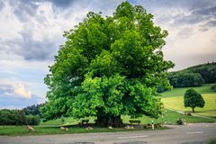 Amazing old linden tree under spectacular sky in linn aargau hdr royalty free stock photos