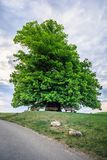 Amazing old linden tree under spectacular sky in linn aargau hdr stock photo