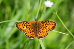 Amazing orange butterfly on grass with blured background.  royalty free stock photography