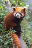 Amazing orange panda Stock Photo