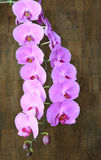 Amazing orchid with multiple blossoms stock image