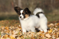 Amazing paillon puppy in autumn Stock Photography