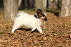 Amazing paillon puppy running in autumn Stock Images