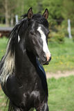 Amazing paint horse stallion with long mane Royalty Free Stock Photography
