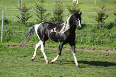Amazing paint horse stallion with long mane Royalty Free Stock Photos