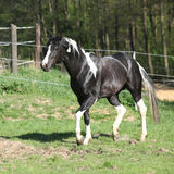 Amazing paint horse stallion with long mane Royalty Free Stock Image