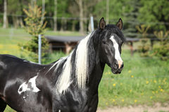 Amazing paint horse stallion looking at you Stock Photo