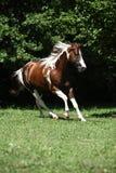 Amazing paint horse stallion running Stock Images