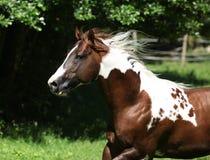 Amazing paint horse stallion running. On pasturage stock photos