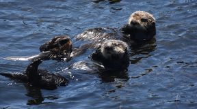 Amazing Pair of Floating Sea Otters Floating On Their Backs. Fantastic pair of floating sea otters in the Pacific Ocean stock images