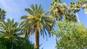 Amazing Palm Trees Towering Over Buildings and Providing Shade. Beautiful Palm Trees towering over buildings and providing shade on our vacation in Las Vegas in stock images