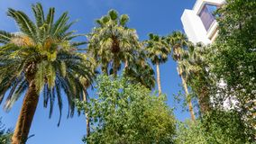 Amazing Palm Trees Towering Over Buildings and Providing Shade. Beautiful Palm Trees towering over buildings and providing shade on our vacation in Las Vegas in stock photos