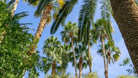 Amazing Palm Trees Towering Over Buildings and Providing Shade. Beautiful Palm Trees towering over buildings and providing shade on our vacation in Las Vegas in stock photo