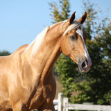 Amazing palomino horse with blond hair Stock Photography