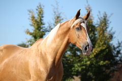 Amazing palomino horse with blond hair Stock Image