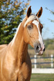Amazing palomino horse with blond hair Royalty Free Stock Photos