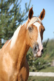 Amazing palomino horse with blond hair Stock Photo