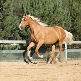 Amazing palomino warmblood running Stock Photo