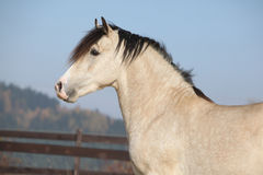 Amazing palomino welsh cob stallion with black hair Stock Photos