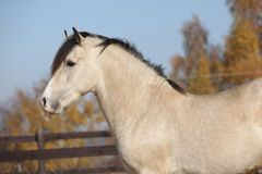 Amazing palomino welsh cob stallion with black hair. In autumn Stock Images