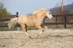 Amazing palomino welsh mountain pony running Royalty Free Stock Image