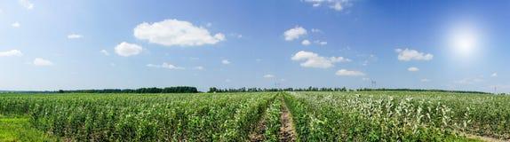 Amazing Panorama Of Growing Apple Garden. Royalty Free Stock Image