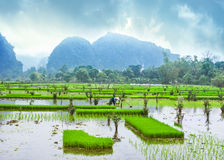 Amazing panorama view of the rice fields, limestone rocks and mo Stock Photography