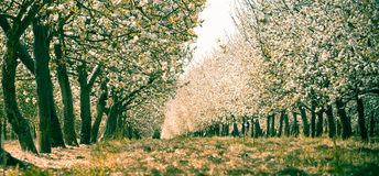 Amazing panoramic orchard with flowers. Panoramic orchard with white flowers Stock Photography