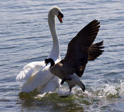 Amazing photo of the Canada goose attacking the swan Stock Photo