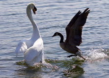 Amazing photo of the epic fight between the Canada goose and the swan Stock Photos