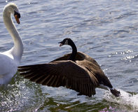 Amazing photo of the epic fight between a Canada goose and a swan Stock Photos
