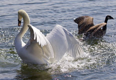 Amazing photo of the fantastic contest between the powerful swan and the brave Canada goose Stock Photography