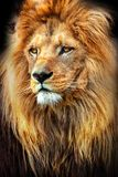 Amazing photo of a lion with a great mane. King of animals. Stock Images
