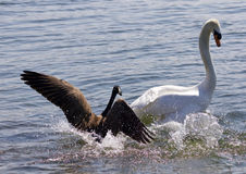 Amazing photo of the small Canada goose attacking the swan Stock Photo