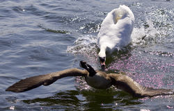Amazing picture with an angry swan attacking a Canada goose Stock Images