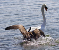Amazing picture with the Canada goose attacking the swan on the lake Stock Images
