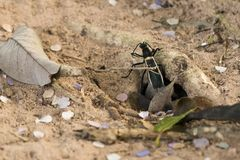 Amazing picture of enormous Tarantula hawk walking around, hunti. Amazing picture of enormous Tarantula Hawk hunting for tarantulas on sandy soil, walking around Stock Photography